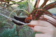 Вырезывание ветви дерева используя ножницы стоковые фотографии rf