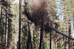 Вырезывание дерева Yosemite в долине Yosemite Стоковое Изображение RF