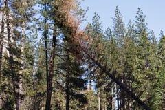 Вырезывание дерева Yosemite в долине Yosemite Стоковое фото RF