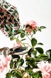 Вырезывание садовника или подрезая розы на кусте Стоковые Фото