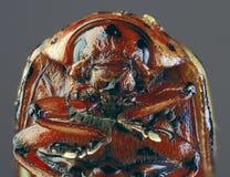 Вырез ` макроса жука Колорадо Стоковое фото RF