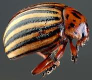Вырез макроса жука Колорадо Стоковые Фото