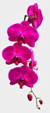 Вырез 4 розовых орхидей Стоковая Фотография RF