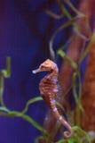 Выровнянное erectus гиппокампа морского конька Стоковые Фотографии RF
