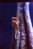Выровнянное erectus гиппокампа морского конька Стоковая Фотография RF