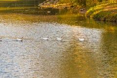 выровнянные гусыни плавая Стоковые Фото
