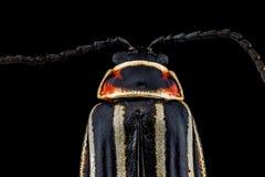 10-выровнянный жук в июне Стоковое Изображение RF