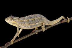 2-выровнянный хамелеон (bitaeniatus Trioceros) Стоковые Изображения