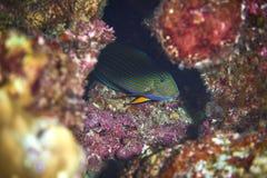 выровнянный surgeonfish Стоковое Фото
