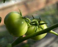 Выросли томаты, который крытый Стоковая Фотография RF
