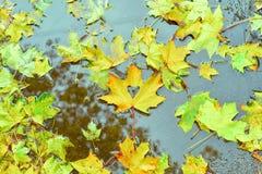 Высекаенные желтым цветом остатки кленового листа в лужице стоковые изображения
