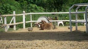 Выскальзывание лошади вниз на песке стоковая фотография
