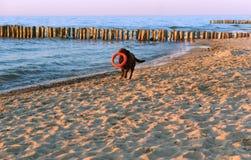 Выследите играть на пляже, собака бежать на пляже, большая темная собака на побережье стоковое изображение
