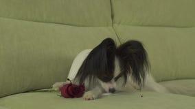 Выследите красную розу вдохов Papillon и отрежьте лепестки в влюбленности на видео отснятого видеоматериала запаса дня валентинок сток-видео
