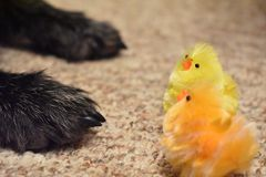 Выследите лапки и синтетический цыпленка на ковре стоковые фото