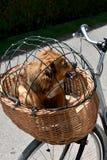 Выследите сидеть в корзине велосипеда защищенной сетью провода стоковые фото