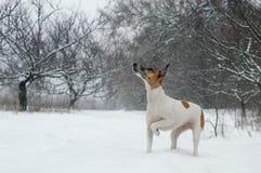 Выследите чистоплеменного терьера лисы на охоте в древесинах смотря вверх, снежности Стоковые Изображения RF