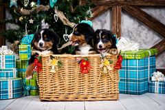 Выследите щенка, рождества и Нового Года горы Bernese породы Стоковое Фото