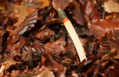 Выследите caninus Mutinus Stinkhorn растя из пола леса Стоковые Изображения