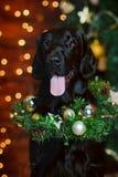 Выследите labrador в интерьере рождества против предпосылки светов Стоковая Фотография RF