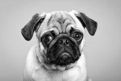 Выследите Pug щенок унылый стоковое фото rf