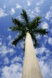 Высокая ладонь с пасмурным небом Стоковое Изображение