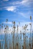 Высокая спешка на озере на заднем плане облачного неба стоковая фотография rf