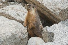 высокая Сьерра marmot Стоковое Изображение
