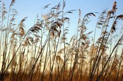 Высокая трава на озере перед заходом солнца стоковые изображения