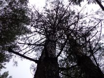 Высокие деревья, небо Стоковая Фотография