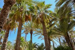 Высокие деревья финиковой пальмы смокв в середине оазиса сада Ближний Востока  стоковое изображение