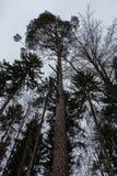 Высокие ели в середине леса Стоковые Фото