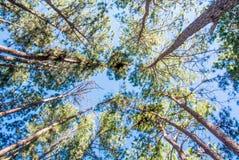 Высокие деревья в глубоком лесе Стоковые Изображения