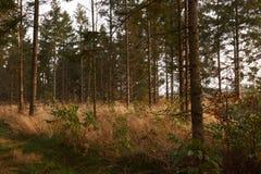 Высокие деревья в траве в лесе Стоковое фото RF