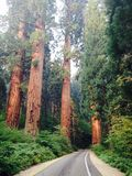 Высокие деревья с дорогой Стоковое Изображение