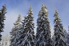 Высокие зеленые деревья сосен покрытые с снегом в wintertime горы Красивое голубое небо как предпосылка Стоковое Фото