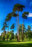 Высокие сосны в зеленом парке Стоковые Фотографии RF