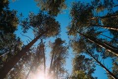 Высокие сосны в лесе стоковые изображения rf