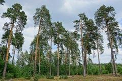 Высокие сосны в расчистке в лесе Стоковые Фотографии RF