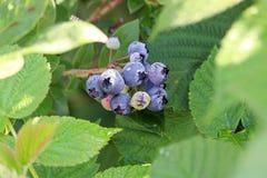 Высокие ягоды голубики куста между листьями поленики Стоковое Изображение RF
