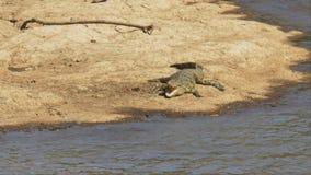 Высокий взгляд крокодила с открытым ртом в masai mara, Кении сток-видео