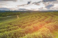 Высокий горизонт плантации зеленого чая холма Стоковая Фотография RF