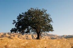 высокий дуб вверх стоковые изображения