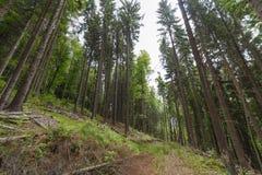 Высокий елевый лес Стоковая Фотография