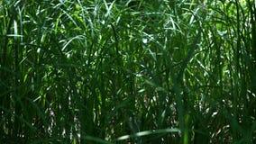 Высокий свежий конец травы вверх сток-видео