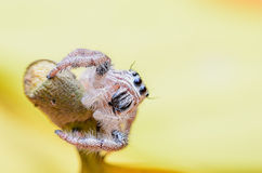 высокий скача спайдер фото увеличения макроса Стоковая Фотография