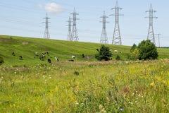 Высоковольтные линии электропередач и коровы в выгоне Стоковое Фото