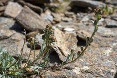Высокогорная артемизия Umbelliformis полевого цветка или высокогорная полынь или белизна Genepì Стоковое Фото
