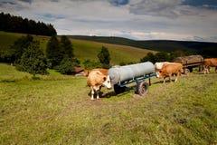 Высокогорная вода питья коровы на выгоне Стоковые Изображения