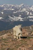 высокогорная гора козочки Стоковые Фото